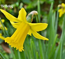 Daffodils Birthday Card by Paula J James