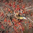 Cedar Waxwing Eating Berries 5 by Thomas Young