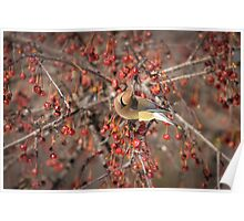 Cedar Waxwing Eating Berries 5 Poster