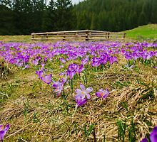 Crocus Field and Pen by Patrycja Polechonska