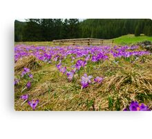 Crocus Field and Pen Canvas Print