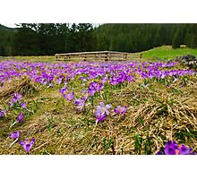 Crocus Field and Pen Photographic Print
