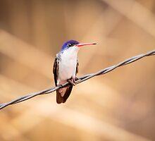 Violet-crowned Hummingbird in Patagonia, AZ by Robert Kelch, M.D.