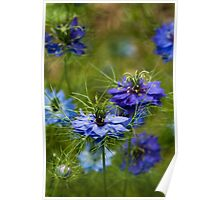 Love in a Mist Poster