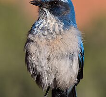 Western Scrub Jay by Nancy Perry