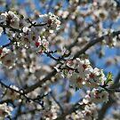 Flowers of the Almond Tree by Nira Dabush