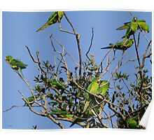 Green Parakeets Poster