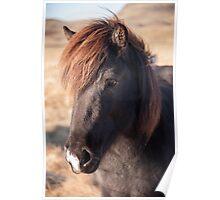 Icelandic Horse Poster