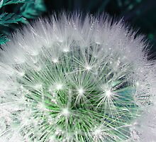 Cool white dandelion with waterdrops by fotosbykarin