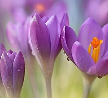 Crocuses.... waking up! (II) by Bob Daalder