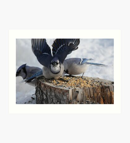 Blue Jays feeding time Art Print