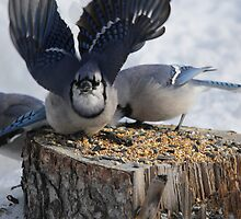 Blue Jays feeding time by JacalynE