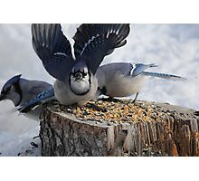 Blue Jays feeding time Photographic Print