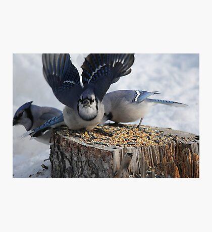 Blue Jays feeding time Photographic Print