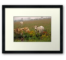 curious cows Framed Print