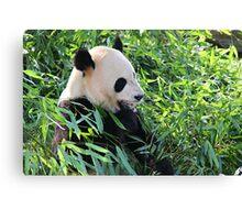 Panda eating Bamboo Canvas Print