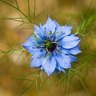 Nigella damascena by Anne Gilbert