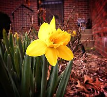First Daffodil by hannahsview