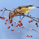 Cedar Waxwing Eating Berries 8 by Thomas Young