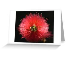 Bottlebrush Callistemon Greeting Card