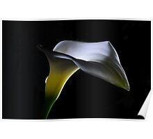 Calla Lily at night Poster