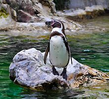 Penguin on Rock by dundeethecroc