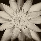 Black and White Waterlily   by 3523studio