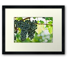 Ripe red wine grapes  Framed Print