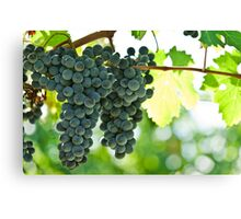 Ripe red wine grapes  Canvas Print