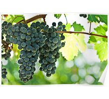 Ripe red wine grapes  Poster