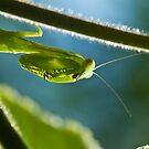 mantis: hunter by davvi