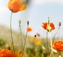 Poppies by carloscastilla