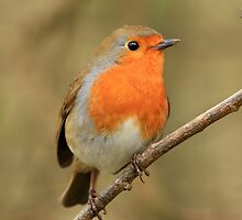 Robin red breast by Karen Antcliffe