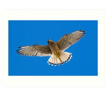 Kestrel in flight Art Print