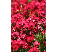 Red like Rubies Photographic Print