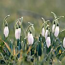 snow drops by andrea-ioana