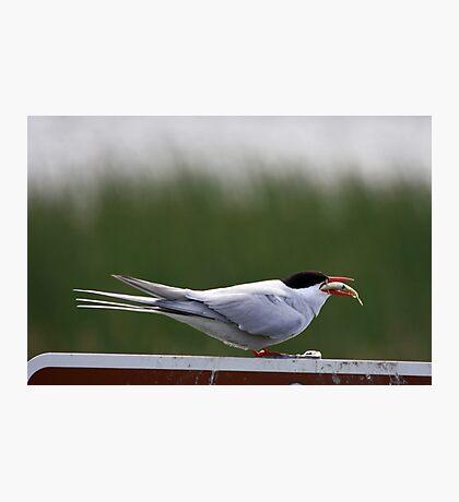 Alaska bird eating fish Photographic Print
