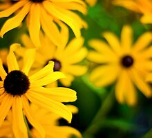 coneflowers by denisemarley