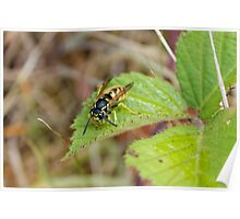 European Wasp (Vespula Germanica) Poster