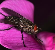 Even a common fly can be interesting by Martyn Franklin