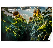 Sunflower Afternoon Poster