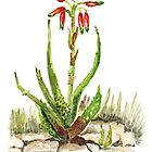 Grass Aloe (A. cooperi) by Maree Clarkson
