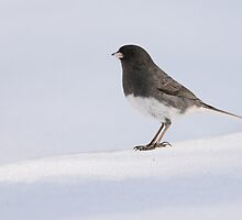 Junco in the snow by dwornham