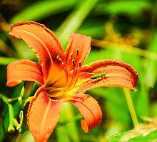 Daylily - Orange by mcstory