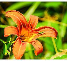 Daylily - Orange Photographic Print
