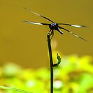 Poised For Flight - Dragonfly by Mary Carol Story