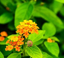 Lantana - Orange by Mary Carol Story