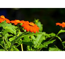 Mexican Sunflower Photographic Print