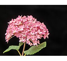 Pink Hydrangea - 1 Photographic Print