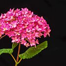Pink Hydrangea - 2 by mcstory